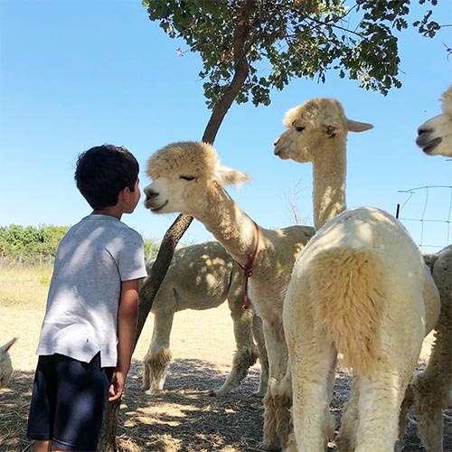 bambino visita allevamento alpaca