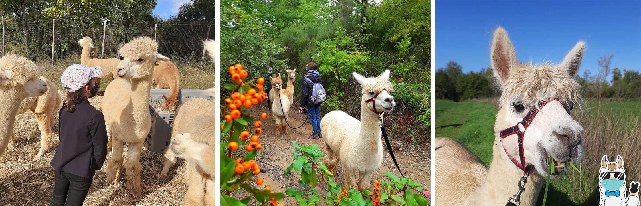 trekking e visite con alpaca