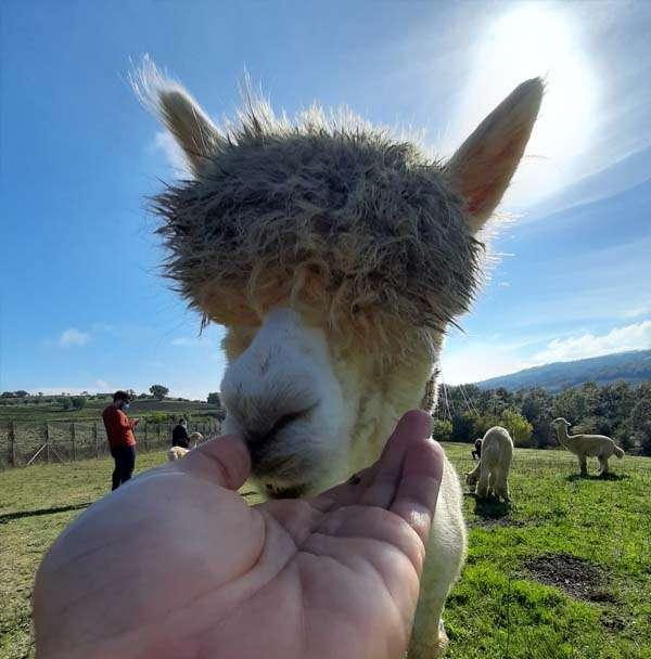 Visita Allevamento Alpaca